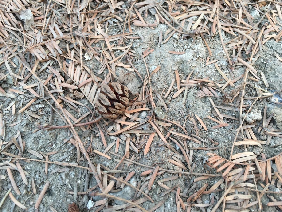 水杉树种子