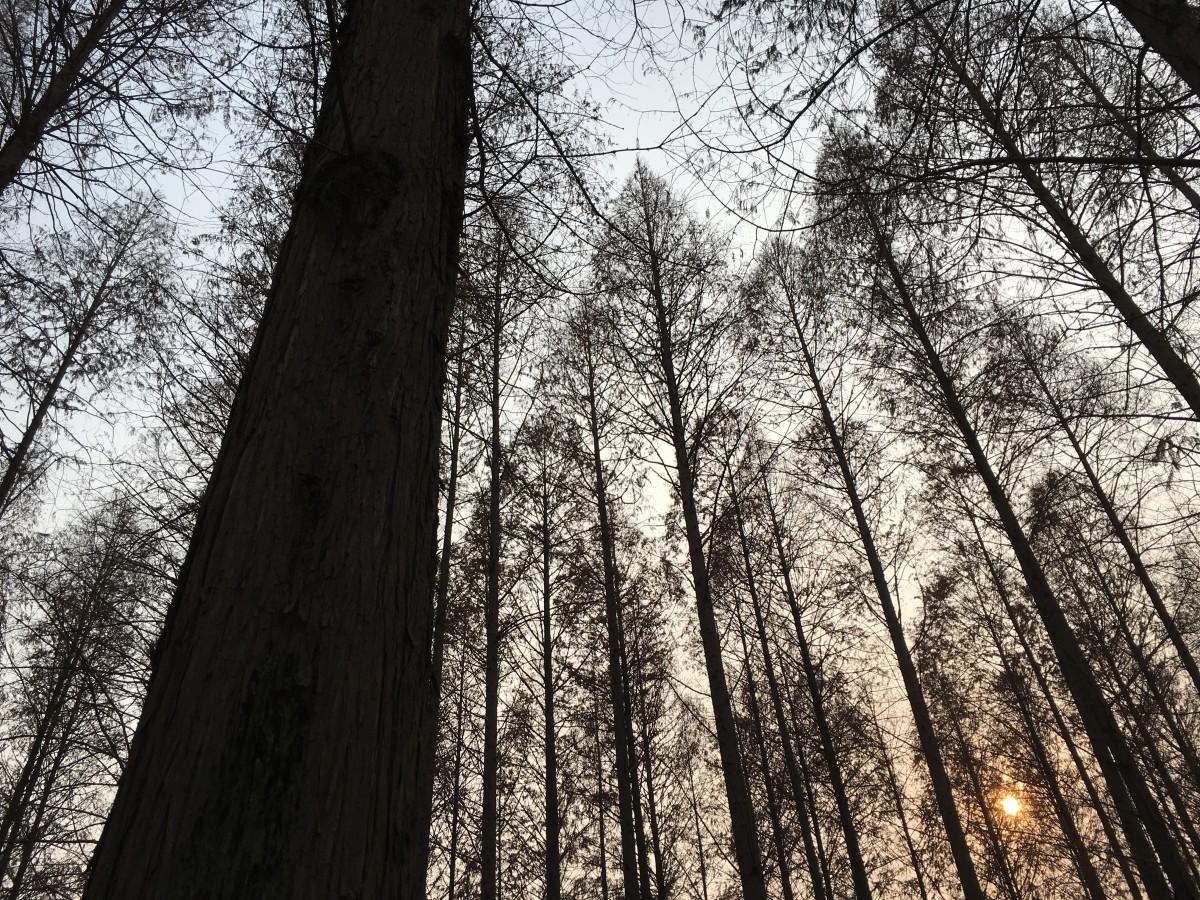 高大的水杉树林