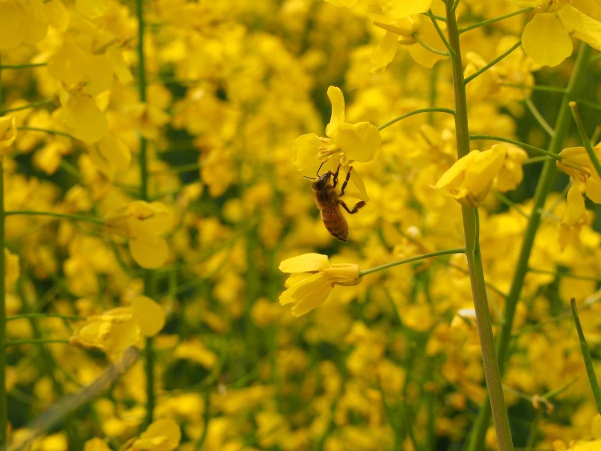 采油菜花的蜜蜂