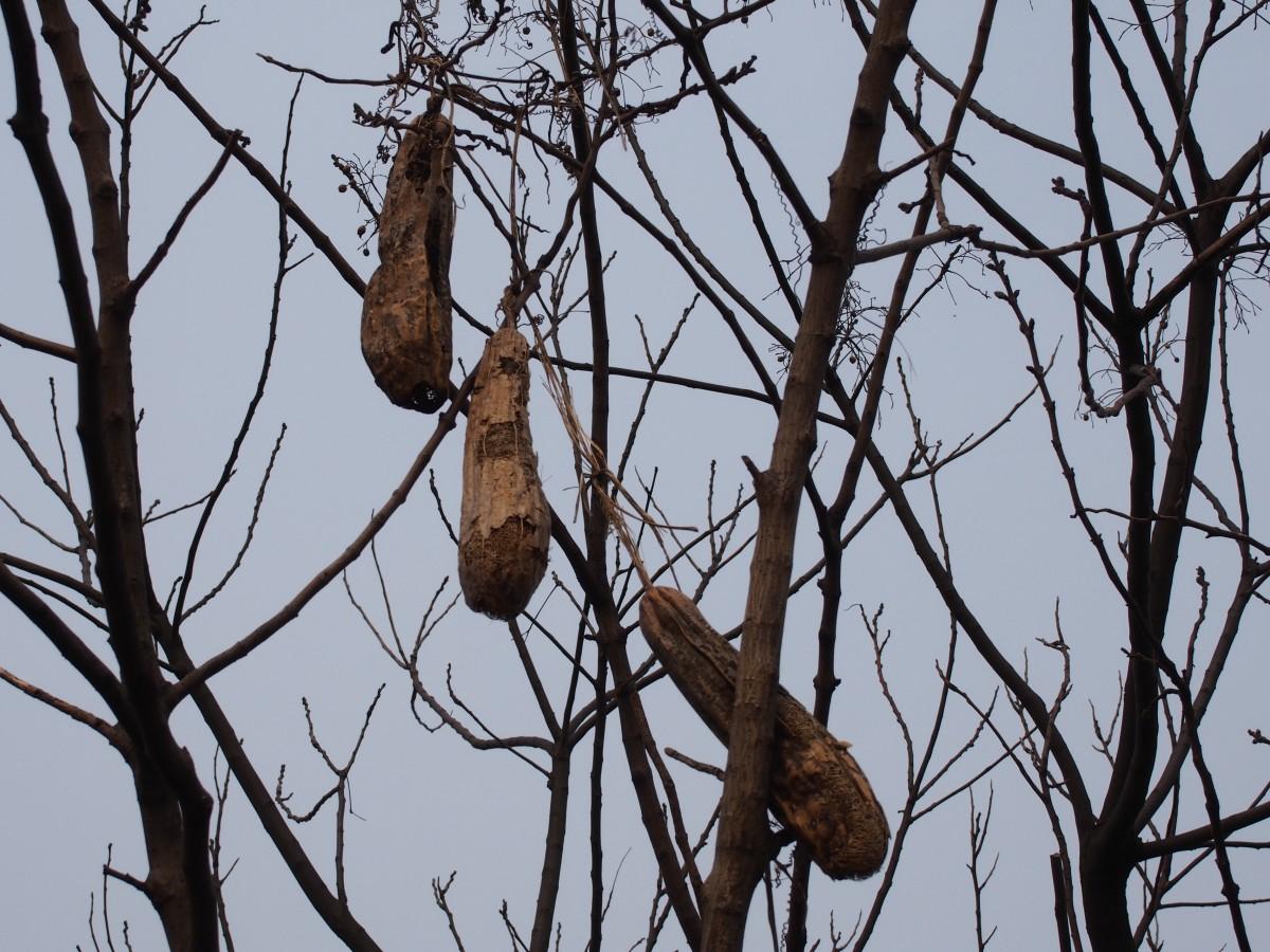 树尚未发芽,上一年长的丝瓜干瘪地挂在树上