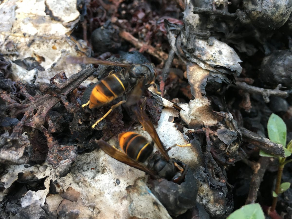 烂葡萄堆里的马蜂