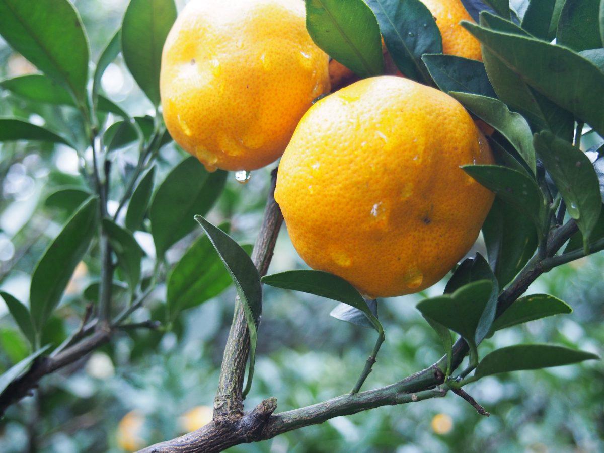 苏州东山橘子