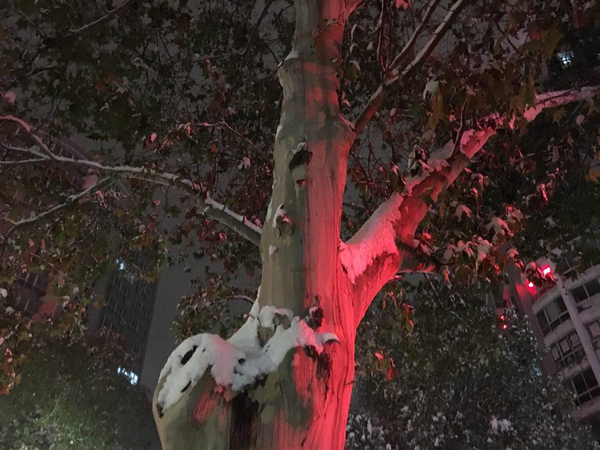 积雪的法国梧桐