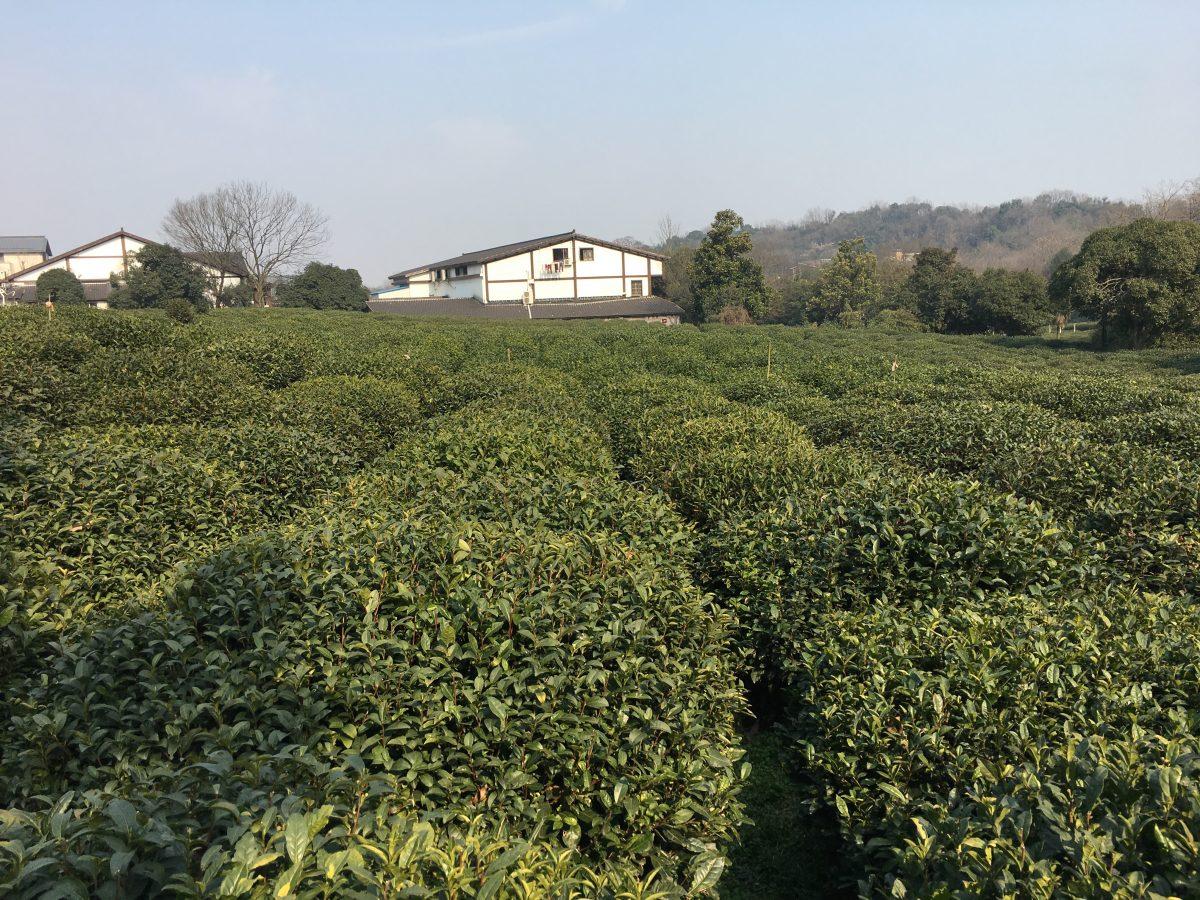西湖龙井茶园