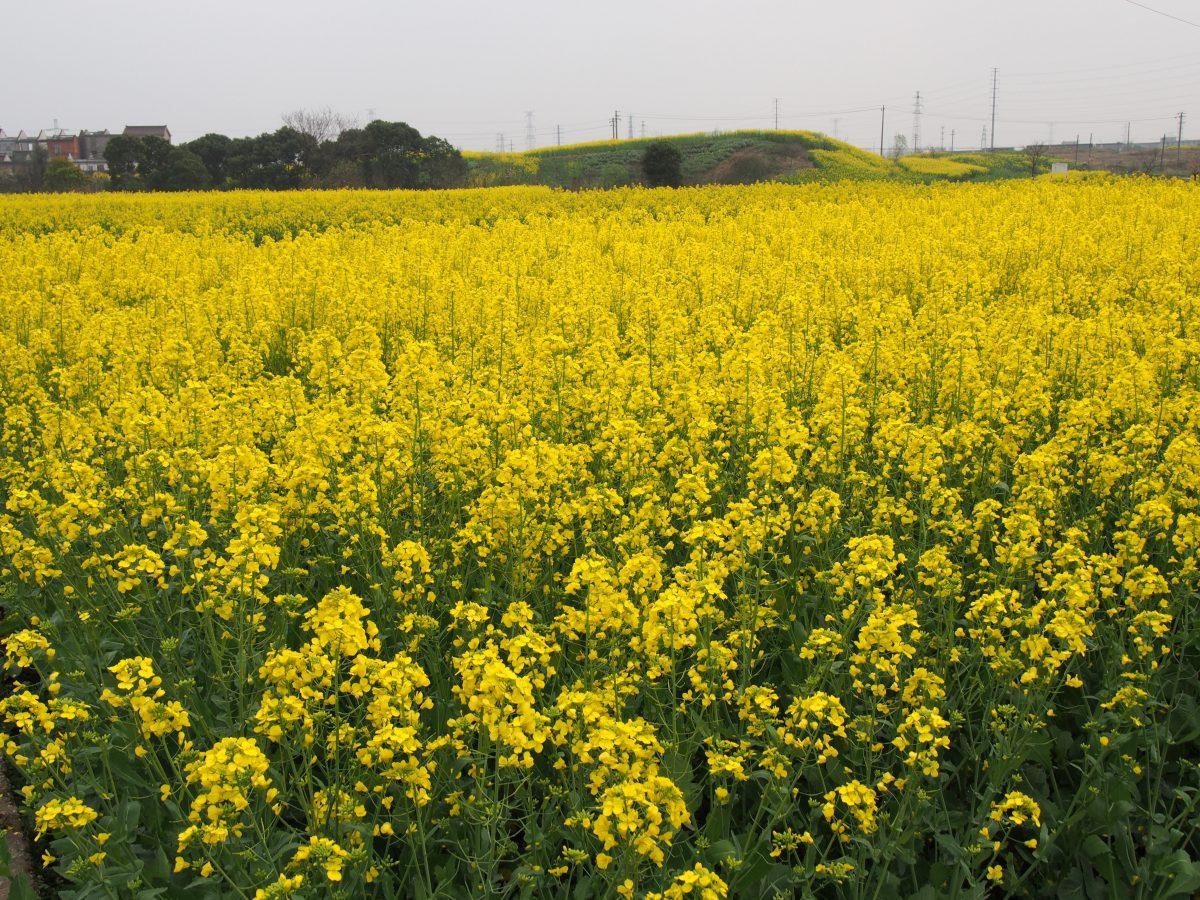 江苏常州·油菜花·诗