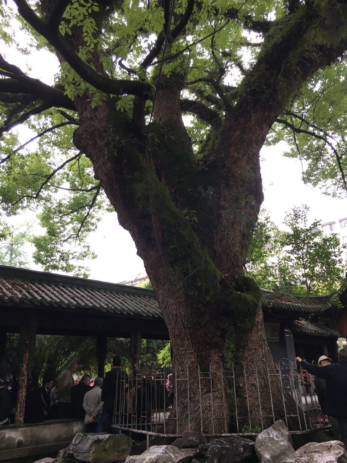 浙江台州黄岩古樟树
