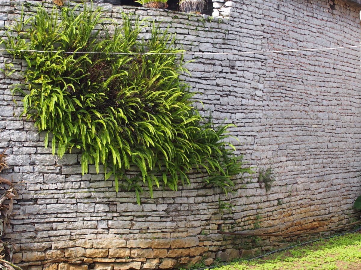 贵州·安顺·镇宁·城关镇墙壁上长着蕨类植物的石头屋