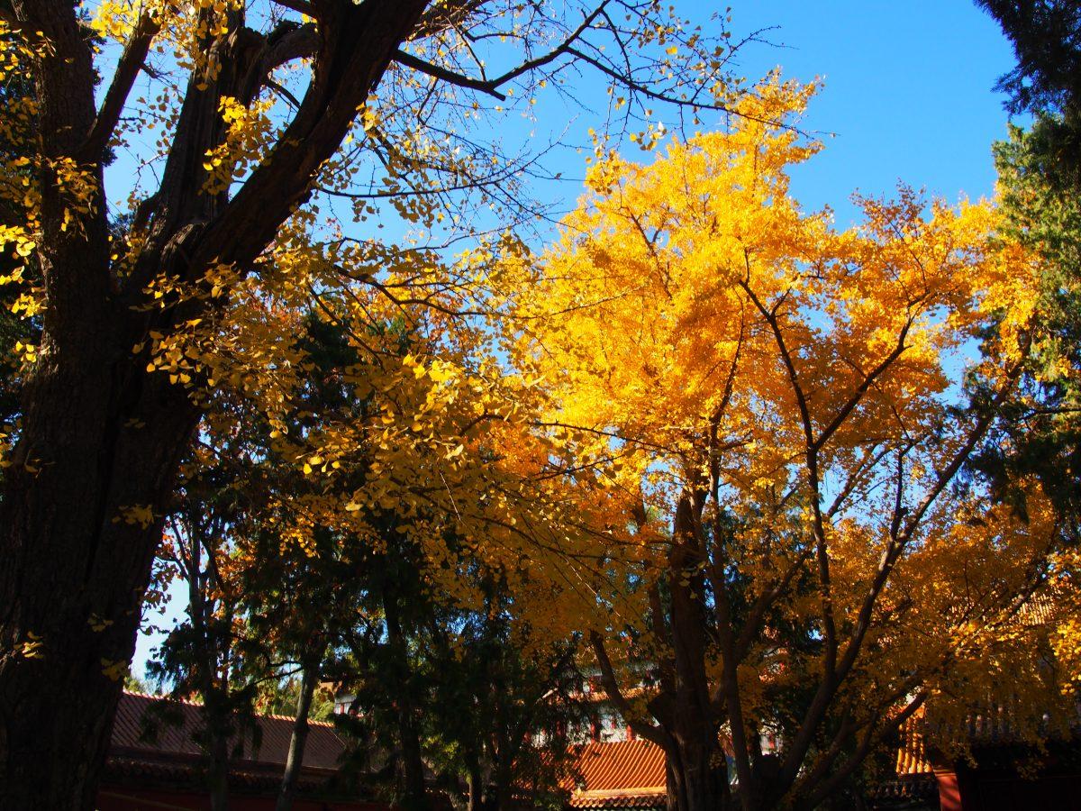 故宫银杏树林