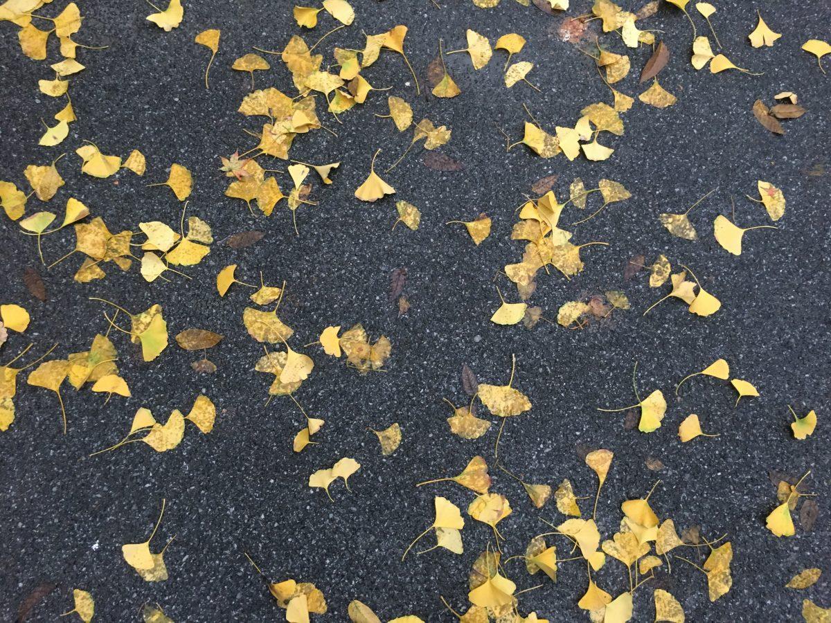 冬天·银杏树叶