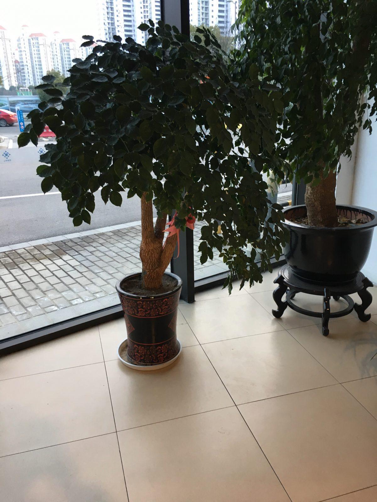 幸福树·菜豆树