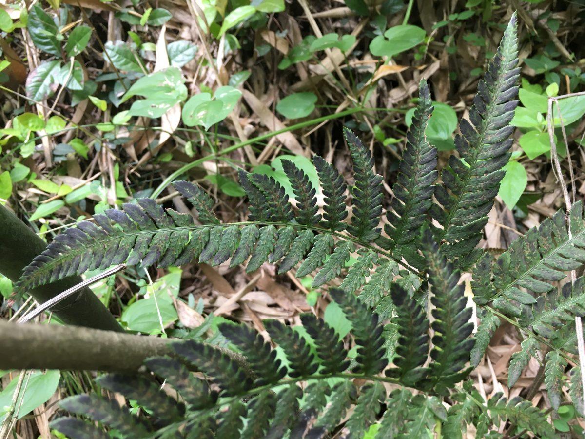 浙江·杭州·莫干山·蕨类植物